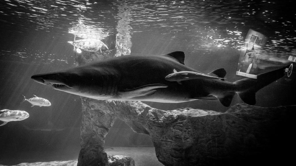 Sand Tiger II by MarkHumphreys