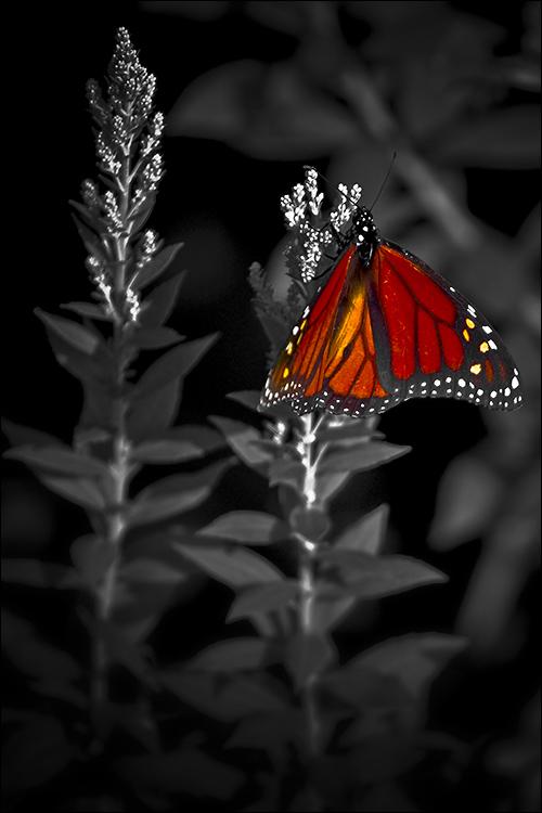 Monarch by Dimentichisi