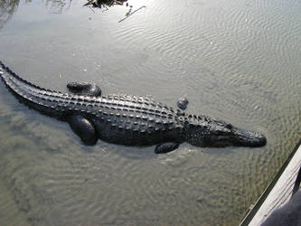 The alligator goes under by One-piece-Crew