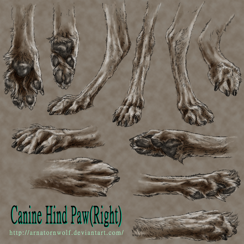sketch - Canine Hind Paw by ArnaTornwolf on DeviantArt