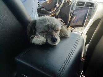 Gucci Angelo, celebrity pup by bironicheroine
