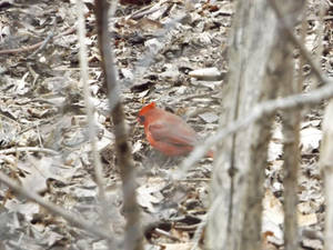 Cardinal in Central Park