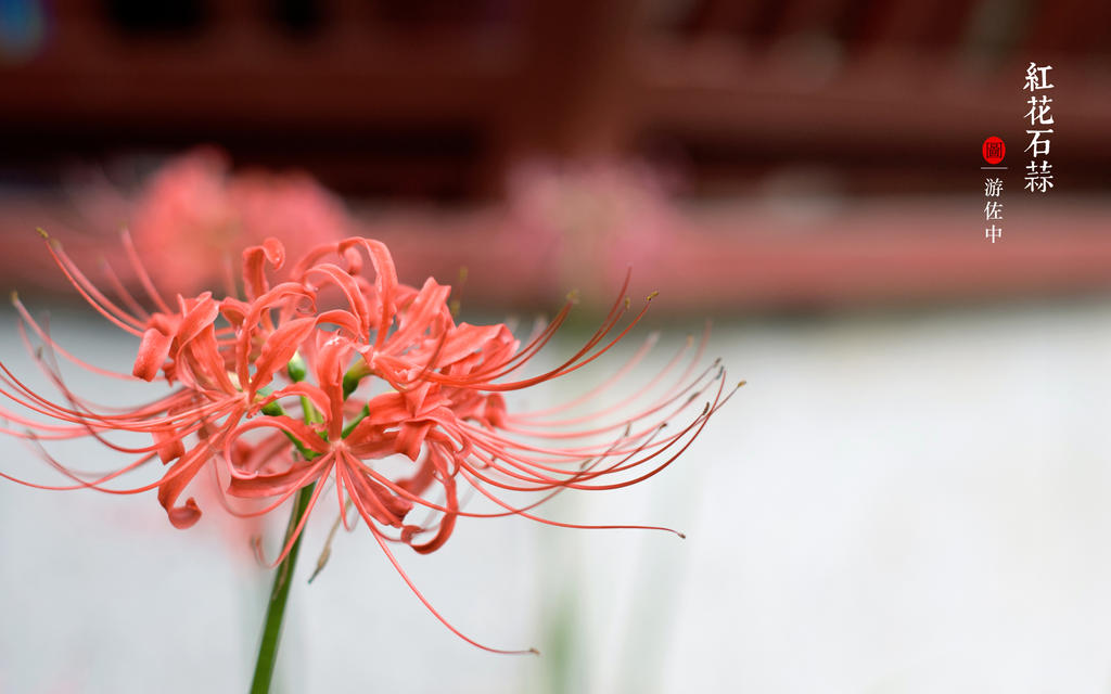 red spider lily by yusaing on DeviantArt