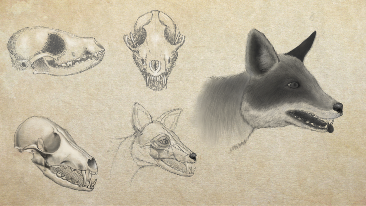 Form study 003 - Fox skull/head by goodsirxv on DeviantArt