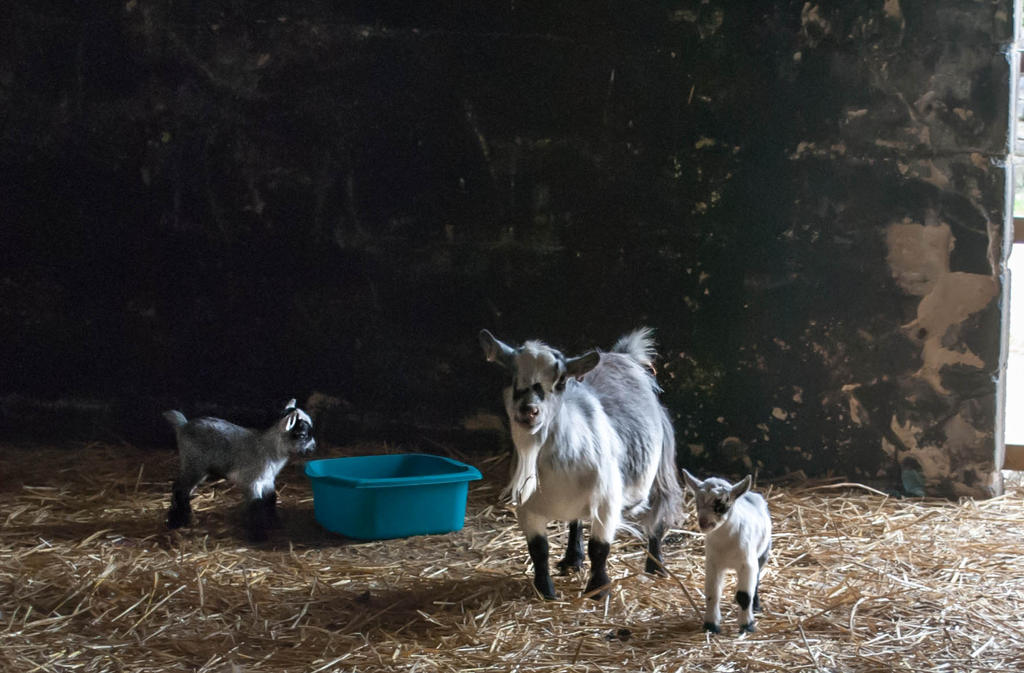 Mother goat with one day old kids by solair