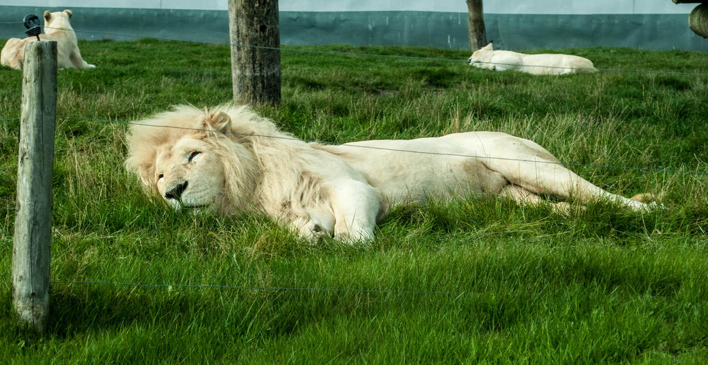The lion sleeps tonight.... by solair