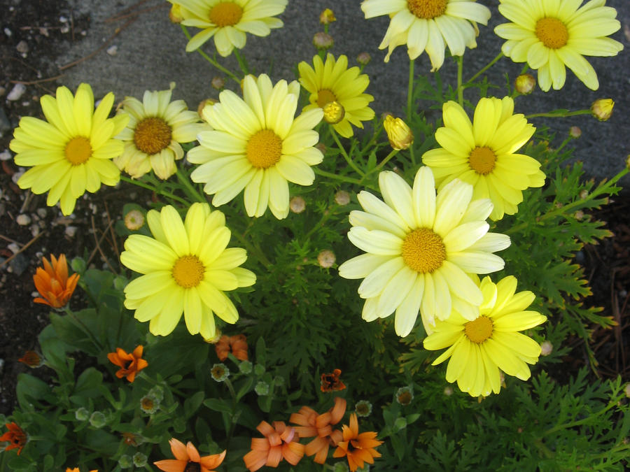 Pale Yellow Flowers I by GreenEyezz-stock