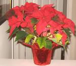 Pointsetta Flower 10 by GreenEyezz-stock