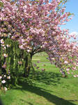 Beneath the Cherry Blossoms