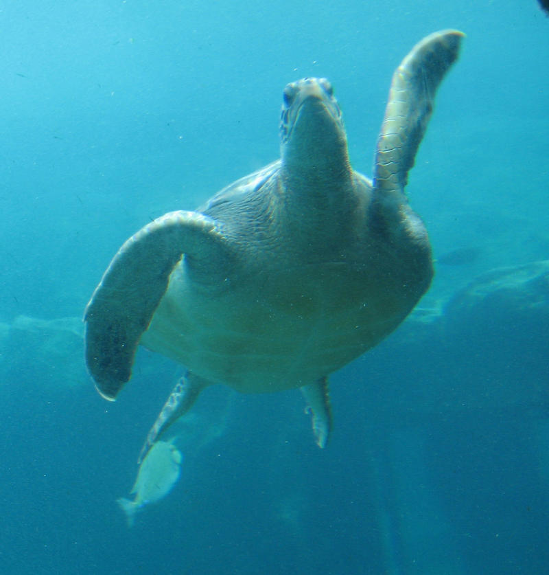 Sea Turtle by GreenEyezz-stock