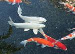 White Koi Fish