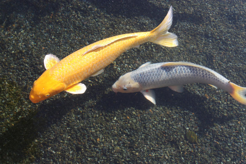 Yellow And White Koi Fish By Greeneyezz Stock On Deviantart