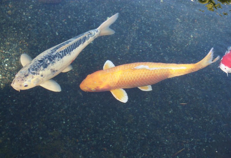 More koi fish by greeneyezz stock on deviantart for Green koi fish
