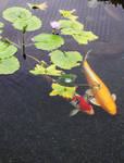 Koi Fish under Lillies II