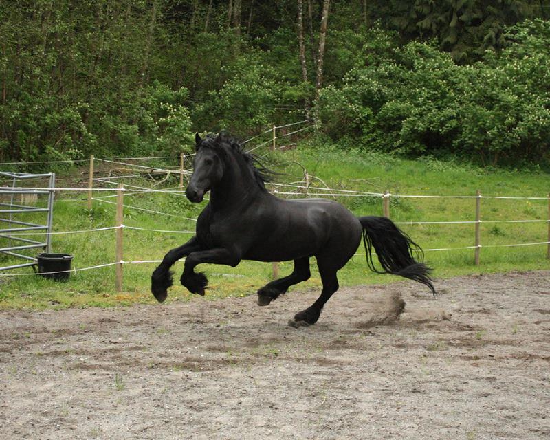 Black Friesian Horse Knight 1 by GreenEyezz-stock