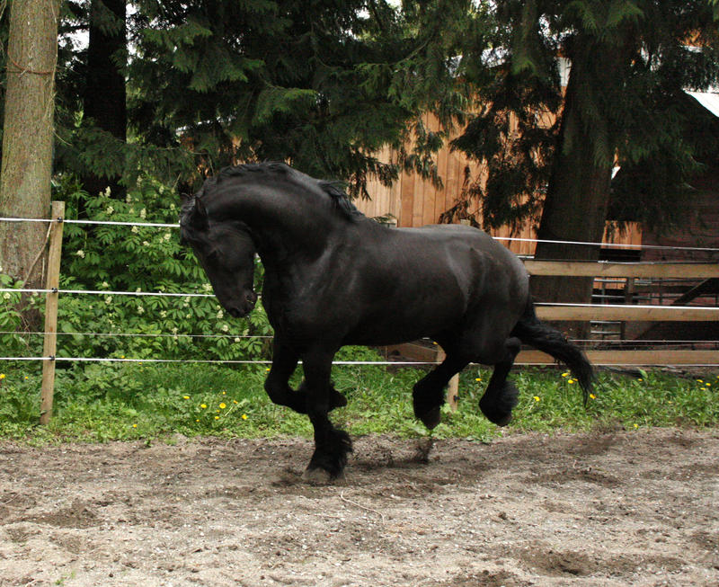 Black Friesian Horse 2 by GreenEyezz-stock