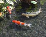Koi Fish Under Lillies III