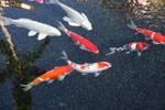 Koi Fish III