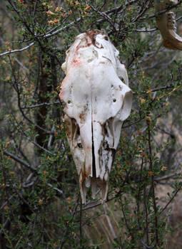 Deer Skull Full Front