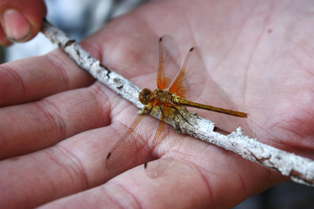 Orange Dragonfly by GreenEyezz-stock