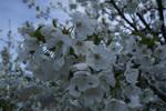 Cerezo en Flor 02