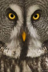 Great Grey Owl / Bartkauz by DaSchu