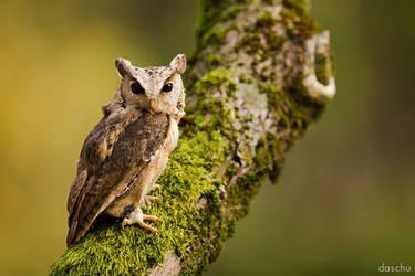Indian Scops Owl / Hindu-Halsbandeule by DaSchu