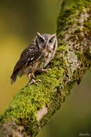 Tropical Screech Owl / Tropische Kreischeule by DaSchu