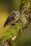 Tropical Screech Owl / Tropische Kreischeule