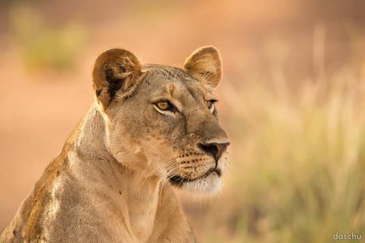 Lion in the morning light