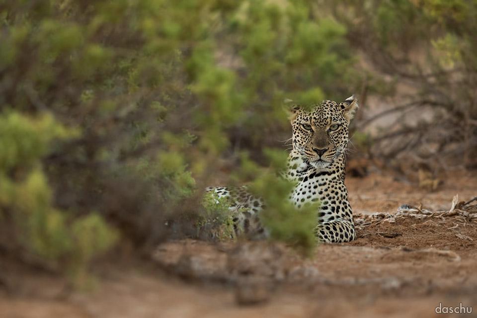 Leopard by DaSchu