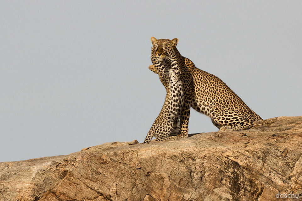 Leopards - Hide and Seek by DaSchu