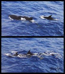 Common Dolphins by DolphyDolphiana