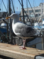 Seagull Of The Wharf by discoinferno84