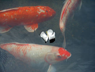 Koi And Flower by discoinferno84