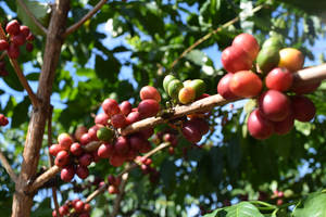 Raw Kona Coffee Beans by discoinferno84