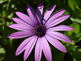 African Daisy In The Sun by discoinferno84