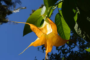 Angel's Trumpet by discoinferno84