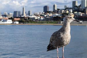 Aquatic Park Gull by discoinferno84