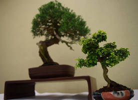 Bonsai, Old And New by discoinferno84