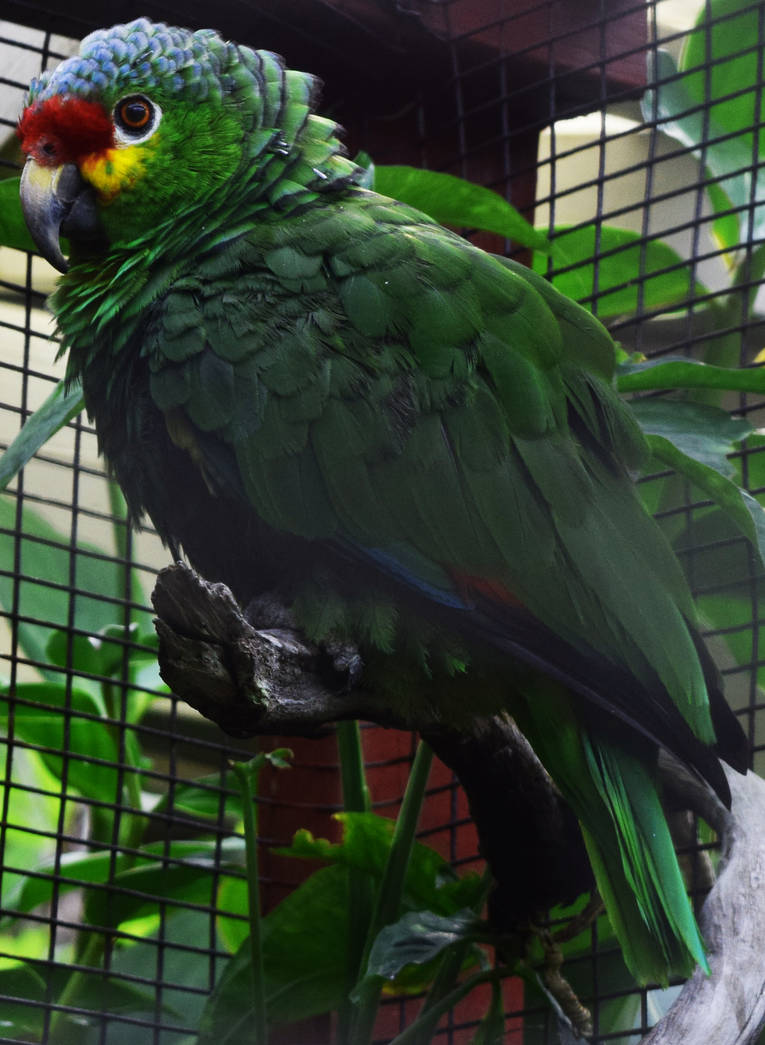 Red-Lored Amazon Parrot by discoinferno84