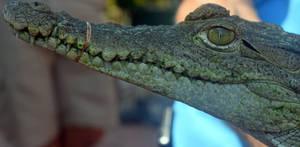 Alligator, Interrupted