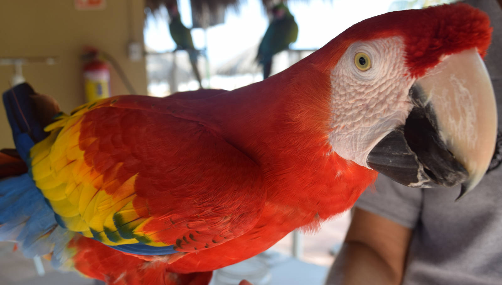 Scarlet Macaw, Up Close And Personal by discoinferno84