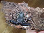 Whipscorpion- female
