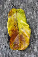 Big Leaf by chisa18
