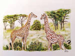 Giraffes in the savannah