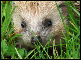 Hedgehog II by RaposaNegra