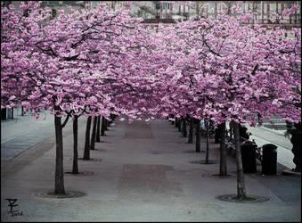 Sakura evening by Daywish