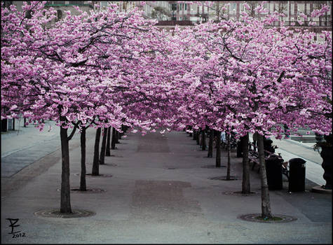 Sakura evening