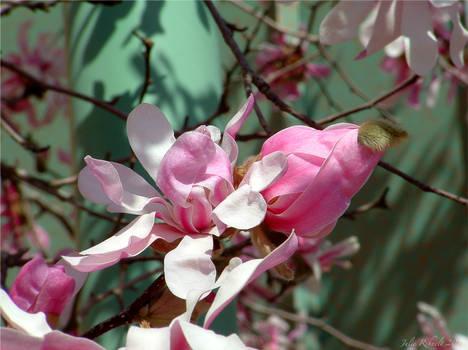 Pink Magnolia 3